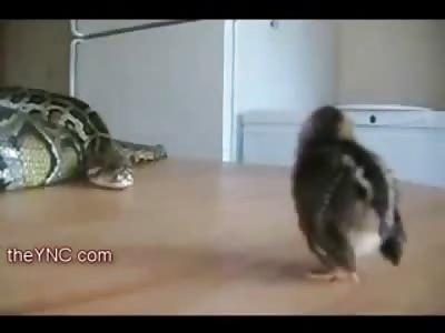 Creeping Death..Snake vs Tweety Bird
